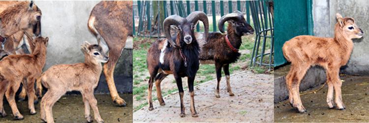"""盘羊,俗称大角羊、盘角羊,国家二级保护动物。雄性盘羊角特别大,呈螺旋状扭曲一圈多,角基一般特别粗大而稍呈浑圆状,巨大的角和头及身体显得不相称。雄性盘羊争偶激烈,巨角相撞响声巨大,所以雄盘羊角上一般都能看到许多撞击的痕迹。虽然盘羊爸爸看着长相比较""""凶悍"""",但是盘羊宝宝们确是萌萌哒!出生刚满1个星期的小羊体高35厘米,才和妈妈的腿一般长,刚出生时的体重才1."""