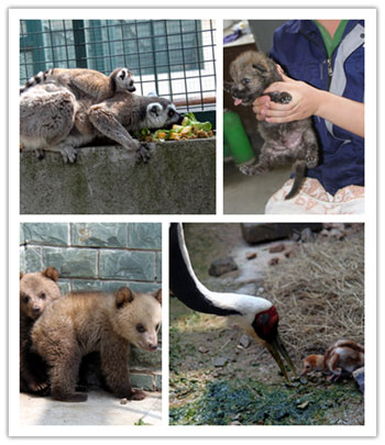 节尾狐猴,小狼崽,鸸鹋,白枕鹤,黑天鹅,黑熊,棕熊,麋鹿等动物宝宝们也