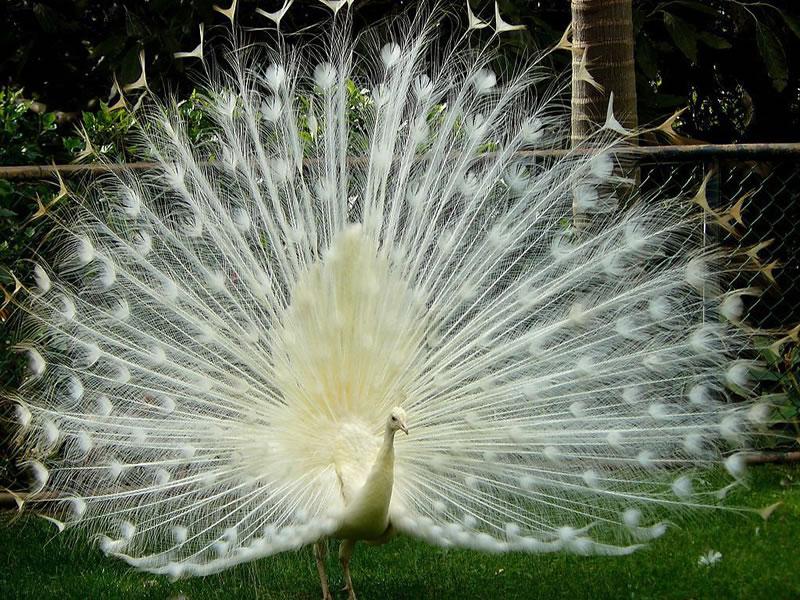 我们是蓝孔雀的白色变种,全身白色,所以叫白孔雀。 习性与蓝孔雀相似,只是体质较弱。一般在印度、孟加拉、斯里兰卡及喜马拉雅山1500公尺以下的茂密丛林或灌木丛中能见到我们的身影,我们特别喜欢在溪流附近活动。 我们的食性比较杂,以山果、草籽、稻谷及嫩芽为食,也捕食蝗虫、蟋蟀、蛙和蜥蜴等小动物为食。在春夏之交开始繁殖,每窝产卵 3~5枚,约28天后蛋宝宝孵化出。 我们是国家二级保护动物哦!