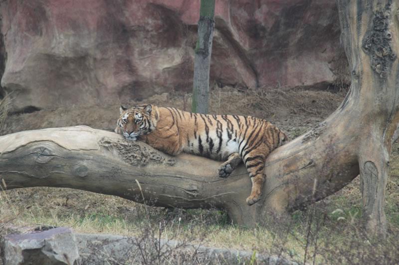"""人们赞誉东北虎是""""森林的保护者"""""""