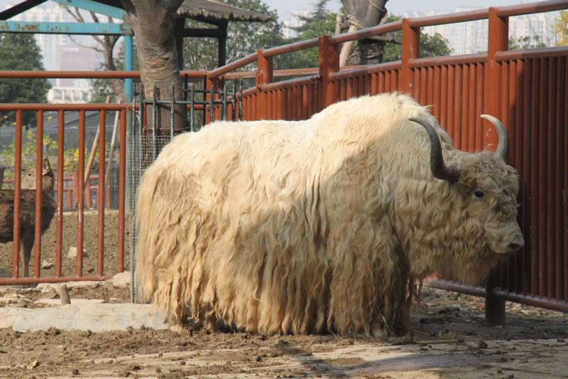 野生的牦牛是国家一级保护动物